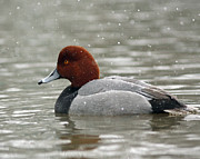 Storm Prints Posters - Redhead Duck in a Winter Snow Storm Poster by Inspired Nature Photography By Shelley Myke