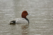Shelley Myke Framed Prints - Redhead Duck in winter Snow Storm Framed Print by Inspired Nature Photography By Shelley Myke