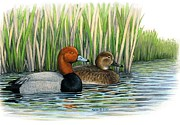 Waterfowl Drawings Framed Prints - Redhead pair  Framed Print by Kalen Malueg