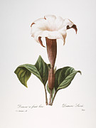 1833 Prints - Redoute: Datura, 1833 Print by Granger
