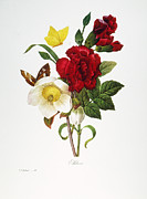 1833 Prints - Redoute: Hellebore, 1833 Print by Granger
