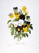 1833 Framed Prints - Redoute: Pansy, 1833 Framed Print by Granger