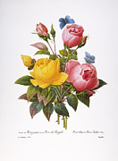 China Rose Framed Prints - Redoute: Roses, 1833 Framed Print by Granger
