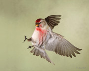 Gerry Sibell - Redpoll in Flight