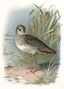 Bird Drawing Posters - Redshank, Historical Artwork Poster by Sheila Terry