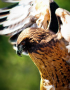 Red Tail Hawk Art - Redtail Hawk 3 by Chad Carlson