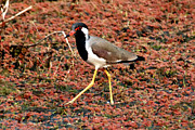 Lapwing Photos - Redwattled Lapwing by Pravine Chester