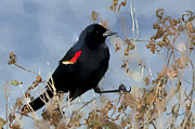 Blackbird Metal Prints - Redwing Blackbird Metal Print by Betty LaRue