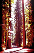 Avenue Of The Giants Prints - Redwood Forest 4 Print by Steve Ohlsen