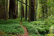 Redwoods Posters - Redwood Forest Path Poster by Melany Sarafis