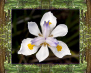 Flower Photos Posters - Redwood Iris Poster by Bell And Todd