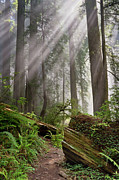 Redwoods Prints - Redwood Light Print by Greg Nyquist