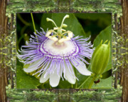 Passionflower Framed Prints - Redwood Passion Framed Print by Bell And Todd