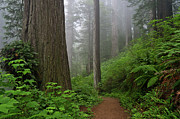 Redwoods Prints - Redwood Path Print by Greg Nyquist