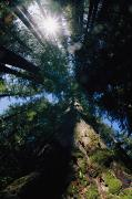 Close Views Prints - Redwood Trees Are Photographed At An Print by Paul Nicklen