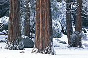 Natural Forces Art - Redwood Trees Dusted With Snow by Marc Moritsch