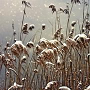Reed In Snow Print by Joana Kruse