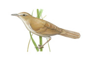 Warbler Drawings Metal Prints - Reed Warbler Metal Print by Lionel Portier