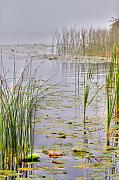 Lilly Pond Photos - Reeds and Fog by David  Naman
