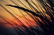 Weed Line Framed Prints - Reeds and Sunset Framed Print by Brent Black - Printscapes