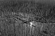 Tree Pyrography Metal Prints - Reeds and Tree Branches Metal Print by David Pyatt
