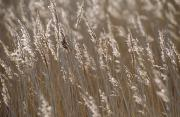 Cultivate Framed Prints - Reeds, Close Up Framed Print by Axiom Photographic