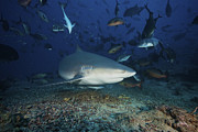 Swimming Fish Photos - Reef Fish Scatter As A Large Bull Shark by Terry Moore