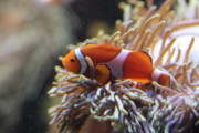 Clown Fish Photos - Reef Friends by Paul Slebodnick