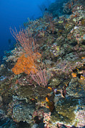 Gorgonian Photos - Reef Scape In The Solomon Islands by Steve Jones