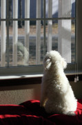 White Dogs Photos - Reflecting Dog Daze by Joy Tudor