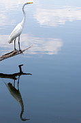Great Egret Posters - Reflecting Egret Poster by John Simandl