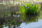 Iris Digital Art Prints - Reflecting Pond Print by Suzanne Gaff