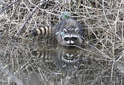 Refuge Prints - Reflecting Raccoon Print by Angie Vogel