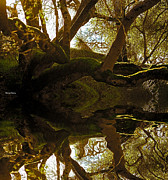 Tree Over Water Prints - Reflecting Tree Print by Cheryl Young