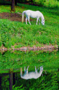 White Horses Photo Prints - Reflection in White Print by Emily Stauring