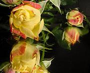 Yellow Rosebud Photos - Reflection by Kathy Bucari