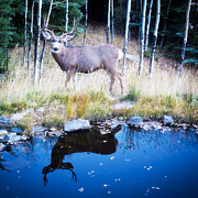 Mule Photos - Reflection of a Deer by Bronze Riser