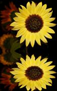 Sunflowers - Reflection of a Sunflower by Cathie Tyler