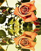 Reflections In Water Prints - Reflection of a Warm Rose Print by Barbara Griffin