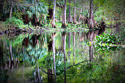 Florida Trees Posters - Reflection of Cypress Trees Poster by Carol Groenen