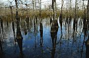 Bald Cypress Prints - Reflections at Big Cypress Print by David Lee Thompson