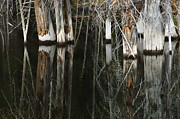 Tree Reflections Prints - Reflections Print by Bob Christopher