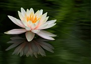 Lilies Posters - Reflections of a Water Lily Poster by Sabrina L Ryan