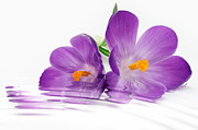 Crocus Prints - Reflections of Beauty Print by Cheryl Young