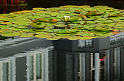Bergen Posters - Reflections On A Lily Pond #1 Poster by Paul Causie