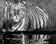 Reflection Drawings - Reflective Tiger by Jerry Winick
