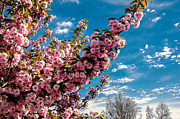 Flowering Trees Prints - Refreshing Print by Robert Bales