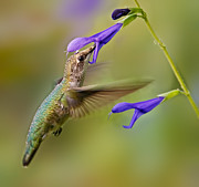 Floral Hummingbird Posters - Refueling Poster by Susan Candelario
