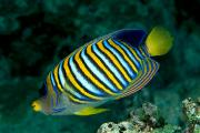 Angelfish Posters - Regal Angelfish Poster by Dave Fleetham - Printscapes