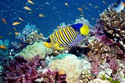 Pisces Photos - Regal Angelfish by Georgette Douwma